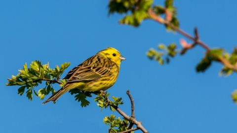 Yellowhammer, Richard Smith