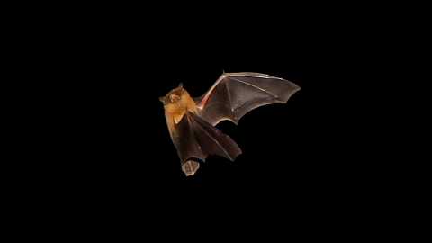 Bat, Robert Booth