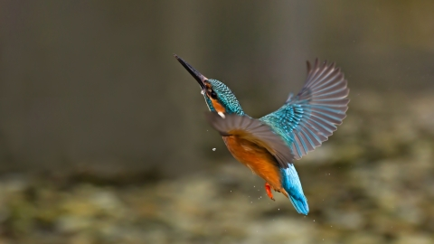 Kingfisher, Malcolm Brown