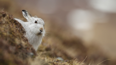 Mountain hare, Luke Massey 2020VISION