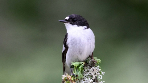 Pied flycatcher, Margaret Holland