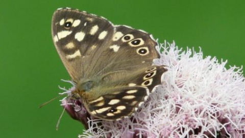 Rowsley speckled wood Shirley Freeman