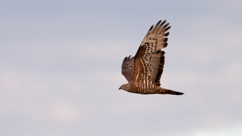 honey buzzard derbyshire wildlife trust