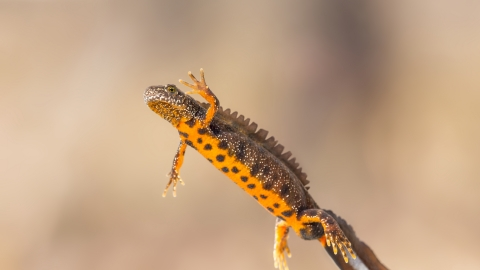 Great crested newt, The Wildlife Trusts