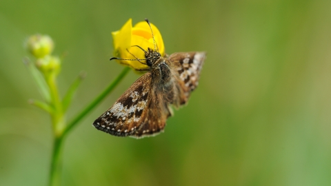 Dingy skipper, Amy Lewis