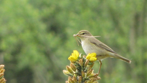 Willow warbler, Sue Crookes