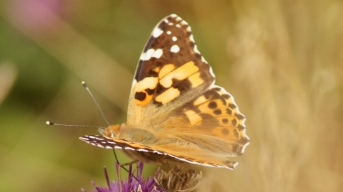 Washlands painted lady butterfly by Graham Wilson