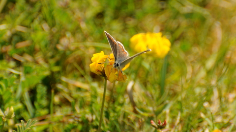 Brown Argus on Horseshoe-vetch