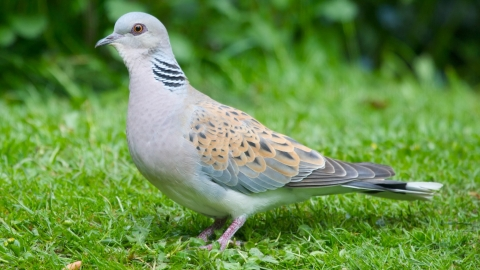 Turtle dove by Gary Huston