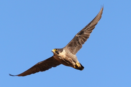 Peregrine, Dave Nay