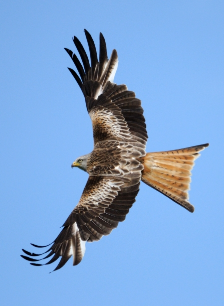 Red kite, Amy Lewis
