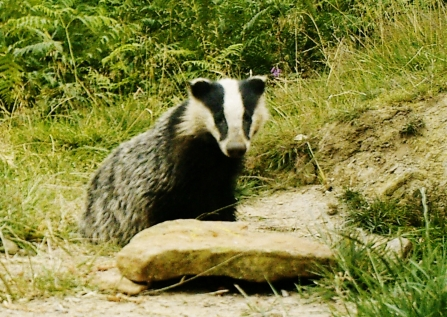 Young Badger at the peanut stone. Derbyshire Wildlife Trust badger vaccination programme, Steve Byers