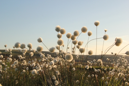 cotton grass, David Fryer-Winder