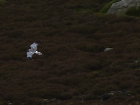 Hen harrier, Tim Birch