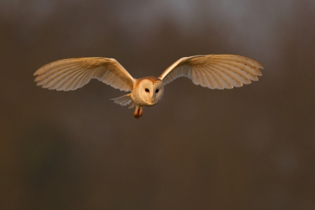 Barn owl, Andy Rouse 2020 VISION
