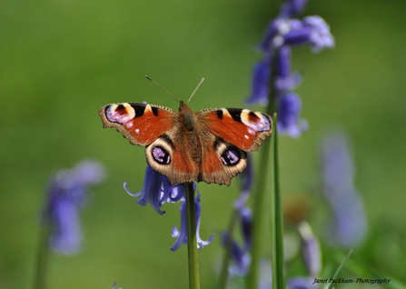 Peacock butterfly, Janet Packham Photography