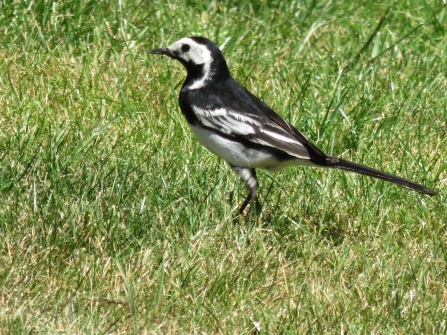 Pied wagtail, P Hollow