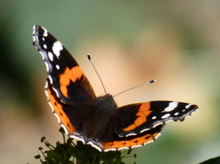 Red admiral comma on ivy  by Derrick Hawkins