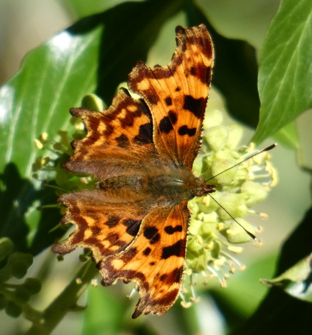 Red admiral comma on ivy flowers Derrick Hawkins