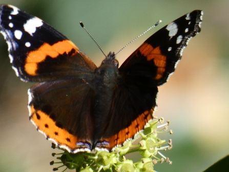 Red admiral comma on ivy flowers by Derrick Hawkins