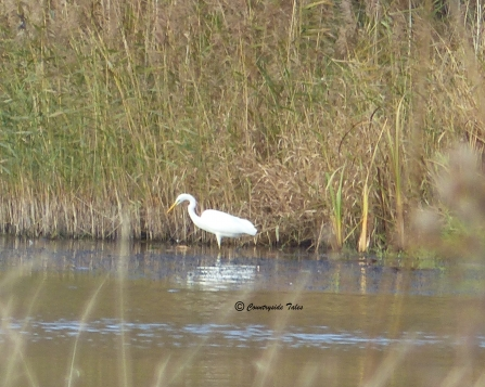 Great white egret sighting by Fiona Cox