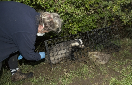Day 12 Debbie vaccinates the badger