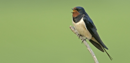 Swallow by Peter Cairns