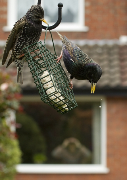 starlings bird feeder