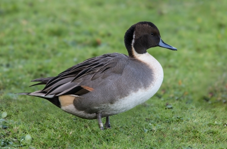 Pintail Male duck