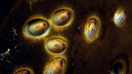 National Marine Week - Blue-rayed limpets