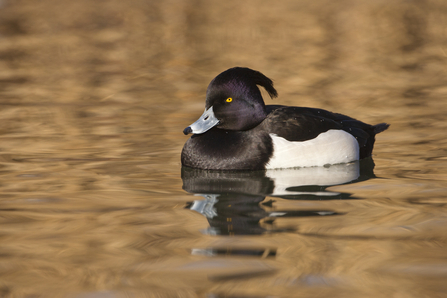 Tufted duck male