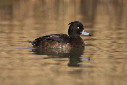 Tufted duck (females)